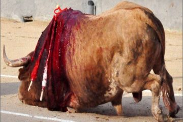 taureau-agonie