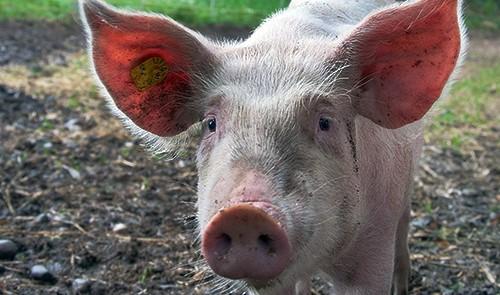 porc AN